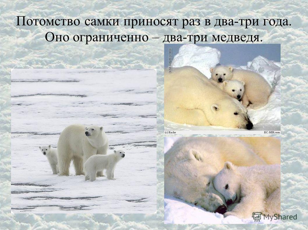 Потомство самки приносят раз в два-три года. Оно ограниченно – два-три медведя.