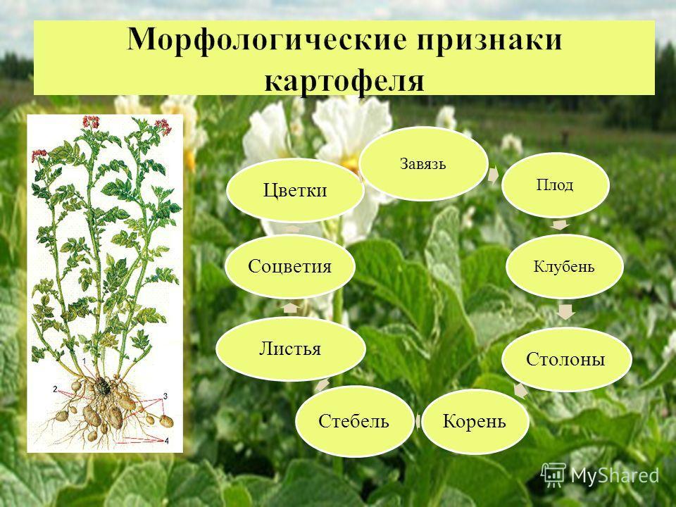Завязь ПлодКлубень СтолоныКорень Стебель ЛистьяСоцветияЦветки