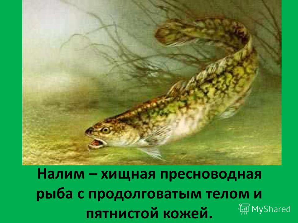 Налим – хищная пресноводная рыба с продолговатым телом и пятнистой кожей.