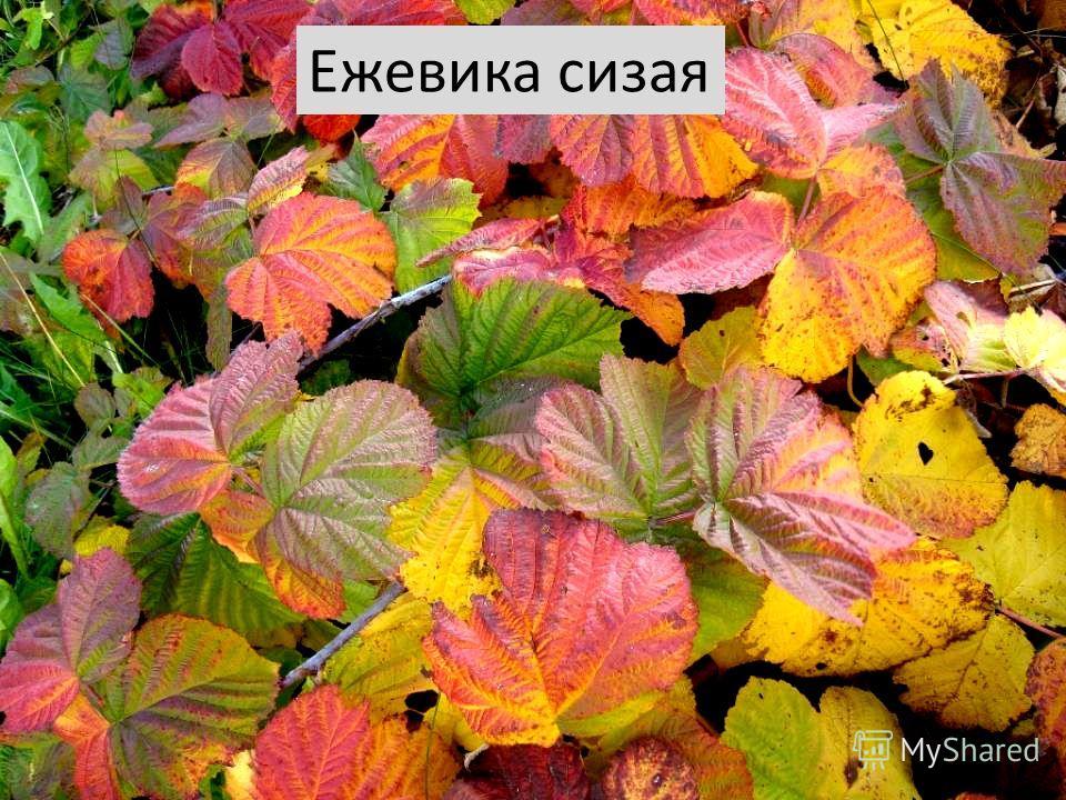 Ежевика сизая