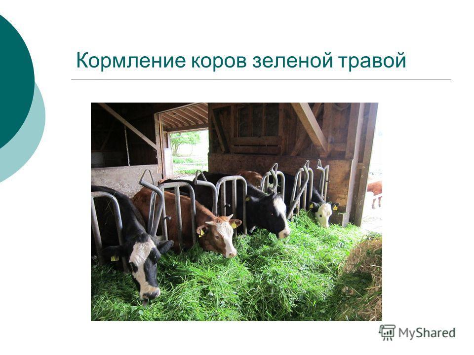 Кормление коров зеленой травой