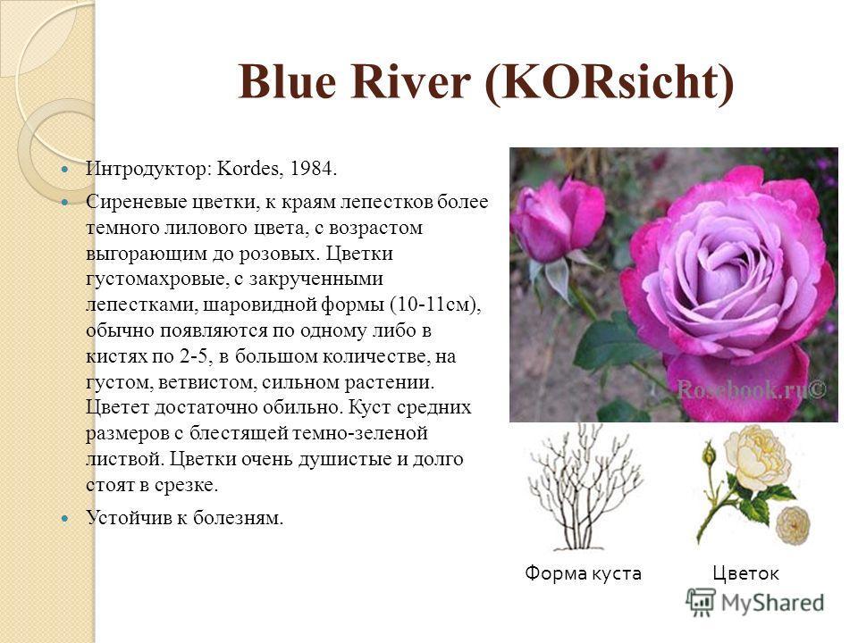 Blue River (KORsicht) Интродуктор: Kordes, 1984. Сиреневые цветки, к краям лепестков более темного лилового цвета, с возрастом выгорающим до розовых. Цветки густомахровые, с закрученными лепестками, шаровидной формы (10-11см), обычно появляются по од