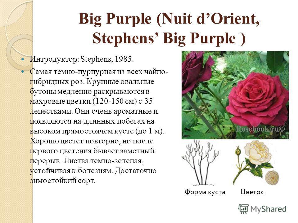 Big Purple (Nuit dOrient, Stephens Big Purple ) Интродуктор: Stephens, 1985. Самая темно-пурпурная из всех чайно- гибридных роз. Крупные овальные бутоны медленно раскрываются в махровые цветки (120-150 см) с 35 лепестками. Они очень ароматные и появл