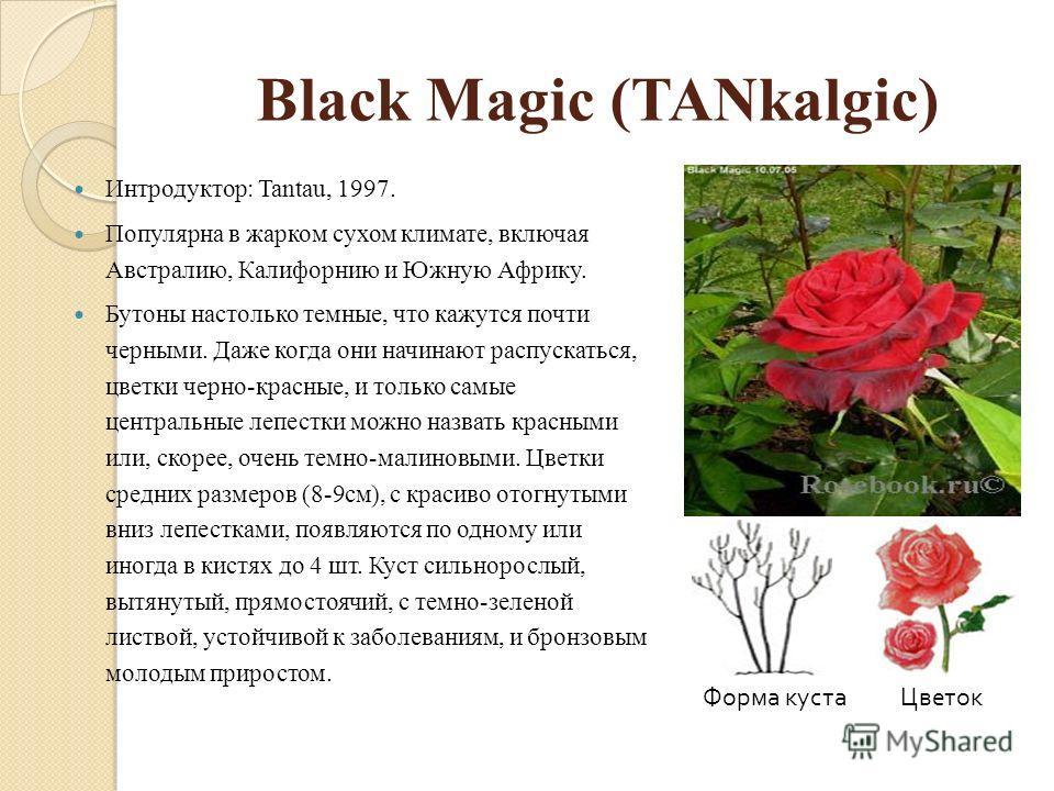 Black Magic (TANkalgic) Интродуктор: Tantau, 1997. Популярна в жарком сухом климате, включая Австралию, Калифорнию и Южную Африку. Бутоны настолько темные, что кажутся почти черными. Даже когда они начинают распускаться, цветки черно-красные, и тольк
