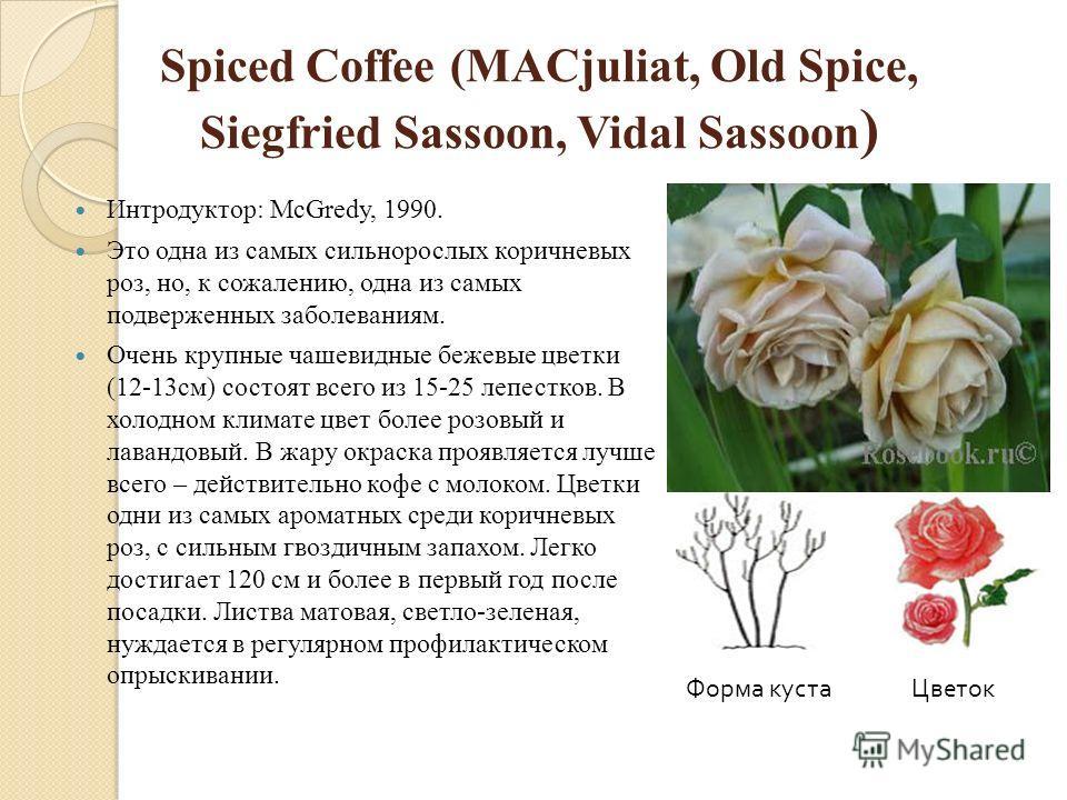 Spiced Coffee (MACjuliat, Old Spice, Siegfried Sassoon, Vidal Sassoon ) Интродуктор: McGredy, 1990. Это одна из самых сильнорослых коричневых роз, но, к сожалению, одна из самых подверженных заболеваниям. Очень крупные чашевидные бежевые цветки (12-1
