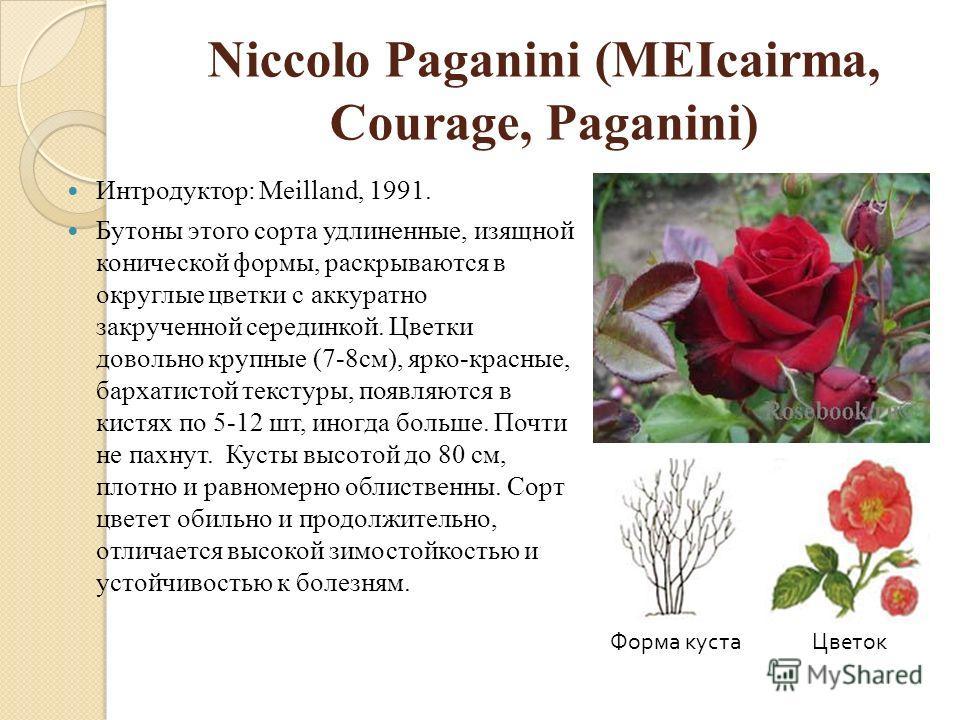 Niccolo Paganini (MEIcairma, Courage, Paganini) Интродуктор: Meilland, 1991. Бутоны этого сорта удлиненные, изящной конической формы, раскрываются в округлые цветки с аккуратно закрученной серединкой. Цветки довольно крупные (7-8см), ярко-красные, ба