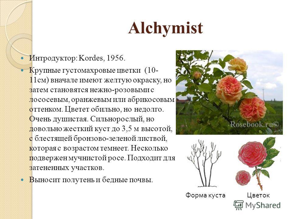 Alchymist Интродуктор: Kordes, 1956. Крупные густомахровые цветки (10- 11см) вначале имеют желтую окраску, но затем становятся нежно-розовыми с лососевым, оранжевым или абрикосовым оттенком. Цветет обильно, но недолго. Очень душистая. Сильнорослый, н