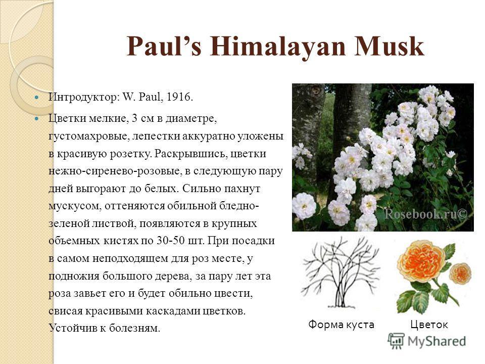 Pauls Himalayan Musk Интродуктор: W. Paul, 1916. Цветки мелкие, 3 см в диаметре, густомахровые, лепестки аккуратно уложены в красивую розетку. Раскрывшись, цветки нежно-сиренево-розовые, в следующую пару дней выгорают до белых. Сильно пахнут мускусом