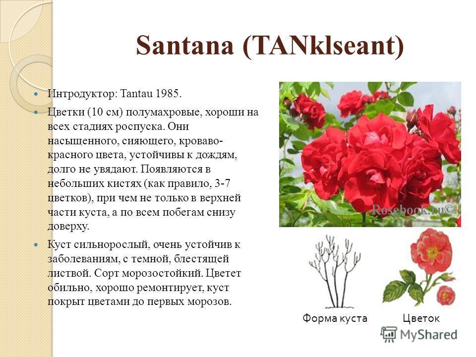 Santana (TANklseant) Интродуктор: Tantau 1985. Цветки (10 см) полумахровые, хороши на всех стадиях роспуска. Они насыщенного, сияющего, кроваво- красного цвета, устойчивы к дождям, долго не увядают. Появляются в небольших кистях (как правило, 3-7 цве