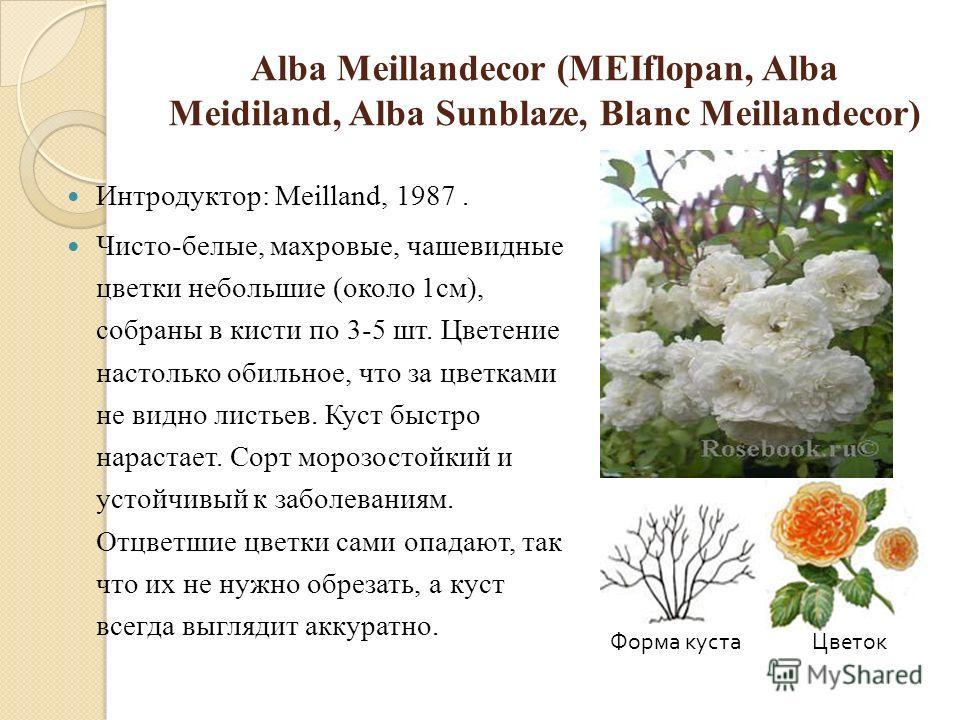 Alba Meillandecor (MEIflopan, Alba Meidiland, Alba Sunblaze, Blanc Meillandecor) Интродуктор: Meilland, 1987. Чисто-белые, махровые, чашевидные цветки небольшие (около 1см), собраны в кисти по 3-5 шт. Цветение настолько обильное, что за цветками не в
