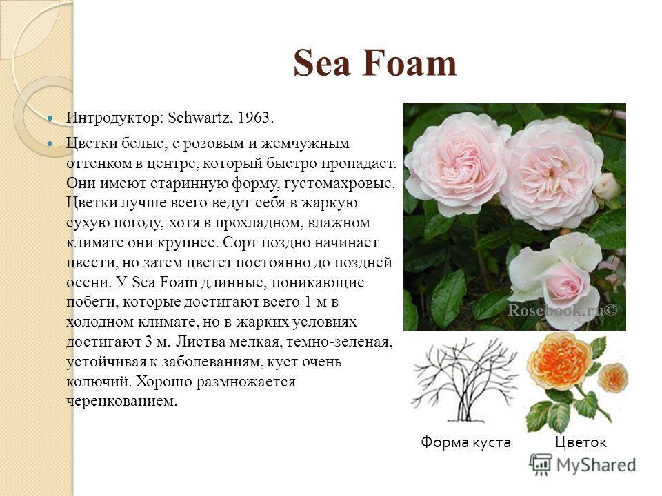 Sea Foam Интродуктор: Schwartz, 1963. Цветки белые, с розовым и жемчужным оттенком в центре, который быстро пропадает. Они имеют старинную форму, густомахровые. Цветки лучше всего ведут себя в жаркую сухую погоду, хотя в прохладном, влажном климате о