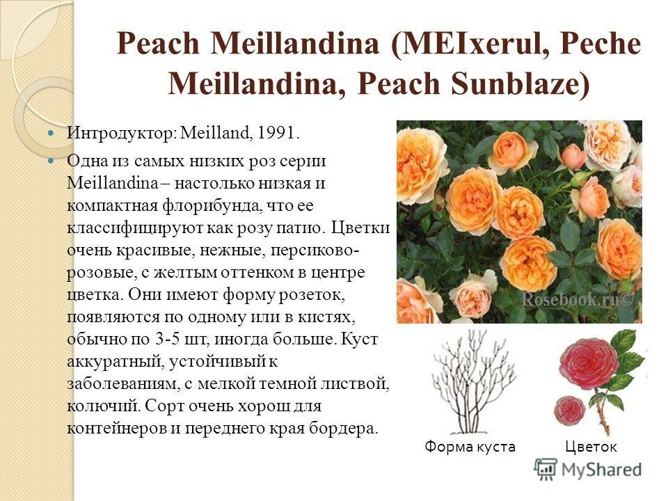 Peach Meillandina (MEIxerul, Peche Meillandina, Peach Sunblaze) Интродуктор: Meilland, 1991. Одна из самых низких роз серии Meillandina – настолько низкая и компактная флорибунда, что ее классифицируют как розу патио. Цветки очень красивые, нежные, п