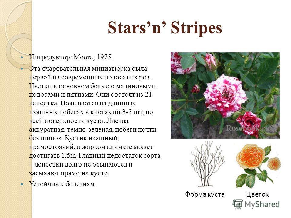 Starsn Stripes Интродуктор: Moore, 1975. Эта очаровательная миниатюрка была первой из современных полосатых роз. Цветки в основном белые с малиновыми полосами и пятнами. Они состоят из 21 лепестка. Появляются на длинных изящных побегах в кистях по 3-