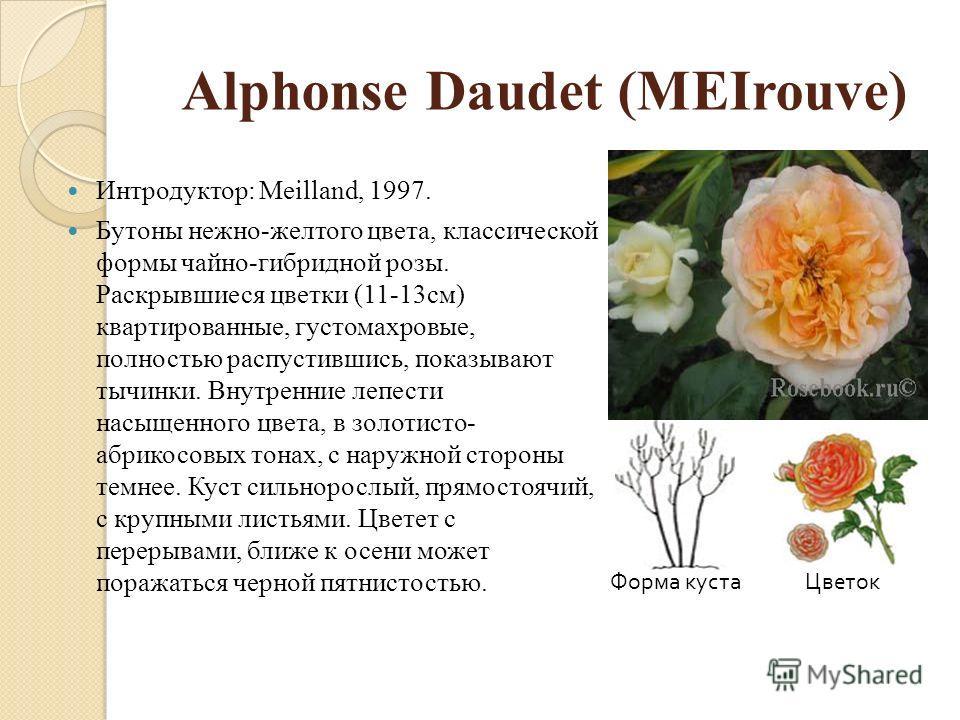 Alphonse Daudet (MEIrouve) Интродуктор: Meilland, 1997. Бутоны нежно-желтого цвета, классической формы чайно-гибридной розы. Раскрывшиеся цветки (11-13см) квартированные, густомахровые, полностью распустившись, показывают тычинки. Внутренние лепести