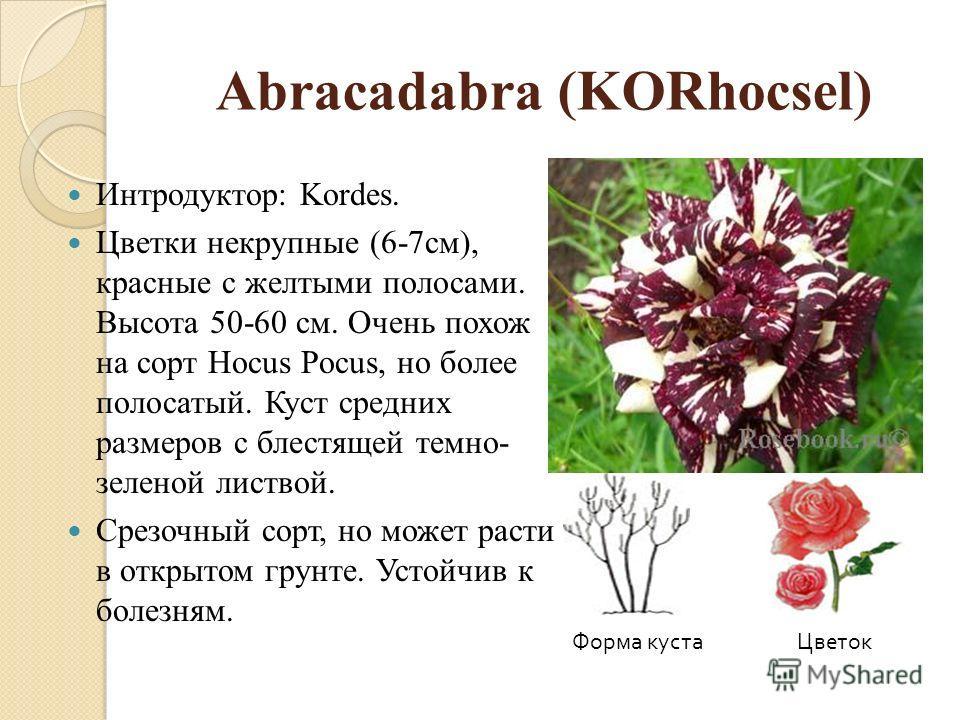 Abracadabra (KORhocsel) Интродуктор: Kordes. Цветки некрупные (6-7см), красные с желтыми полосами. Высота 50-60 см. Очень похож на сорт Hocus Pocus, но более полосатый. Куст средних размеров с блестящей темно- зеленой листвой. Срезочный сорт, но може