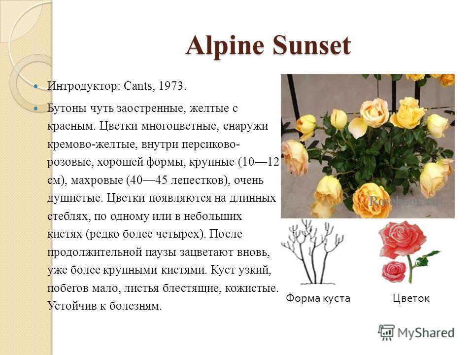 Alpine Sunset Интродуктор: Cants, 1973. Бутоны чуть заостренные, желтые с красным. Цветки многоцветные, снаружи кремово-желтые, внутри персиково- розовые, хорошей формы, крупные (1012 см), махровые (4045 лепестков), очень душистые. Цветки появляются