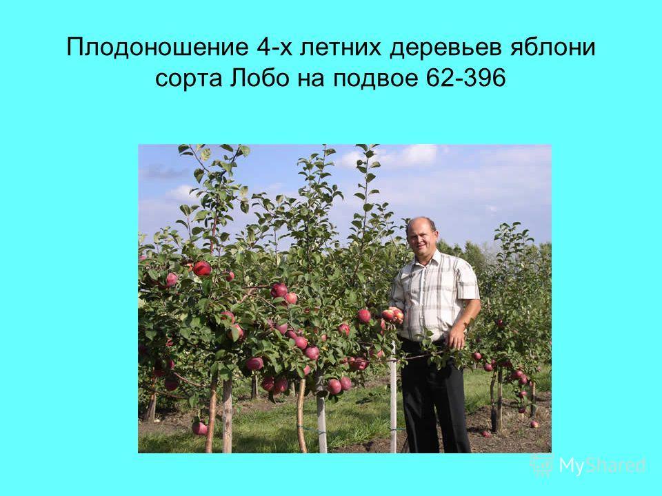 Плодоношение 4-х летних деревьев яблони сорта Лобо на подвое 62-396