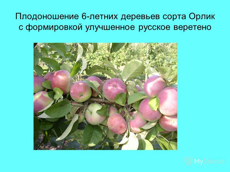Плодоношение 6-летних деревьев сорта Орлик с формировкой улучшенное русское веретено