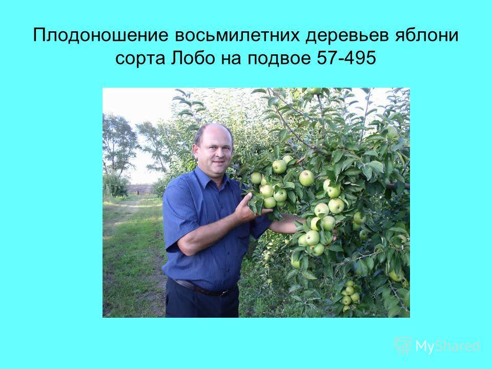 Плодоношение восьмилетних деревьев яблони сорта Лобо на подвое 57-495