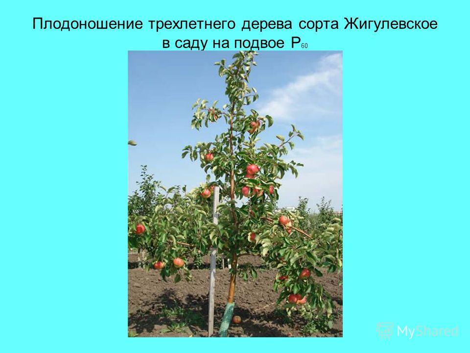 Плодоношение трехлетнего дерева сорта Жигулевское в саду на подвое Р 60
