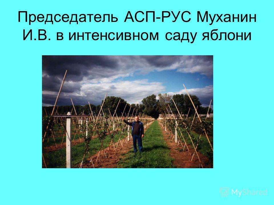Председатель АСП-РУС Муханин И.В. в интенсивном саду яблони