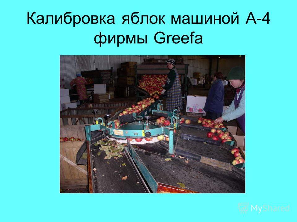Калибровка яблок машиной А-4 фирмы Greefa