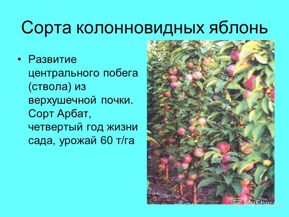 Сорта колонновидных яблонь Развитие центрального побега (ствола) из верхушечной почки. Сорт Арбат, четвертый год жизни сада, урожай 60 т/га