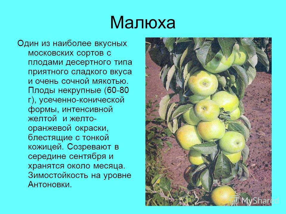 Малюха Один из наиболее вкусных московских сортов с плодами десертного типа приятного сладкого вкуса и очень сочной мякотью. Плоды некрупные (60-80 г), усеченно-конической формы, интенсивной желтой и желто- оранжевой окраски, блестящие с тонкой кожиц