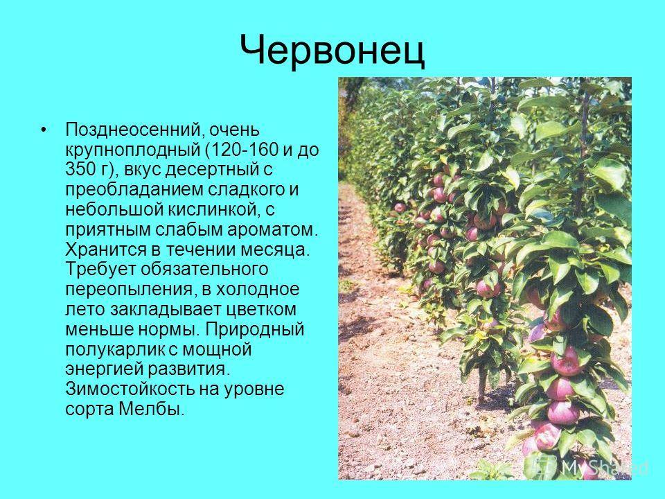 Червонец Позднеосенний, очень крупноплодный (120-160 и до 350 г), вкус десертный с преобладанием сладкого и небольшой кислинкой, с приятным слабым ароматом. Хранится в течении месяца. Требует обязательного переопыления, в холодное лето закладывает цв