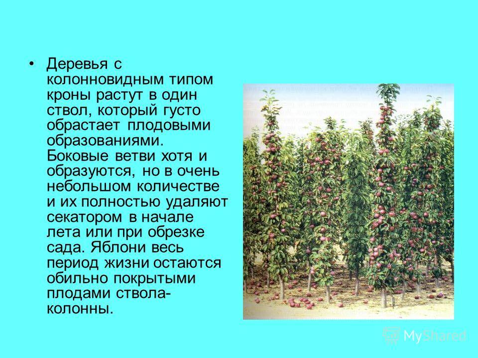 Деревья с колонновидным типом кроны растут в один ствол, который густо обрастает плодовыми образованиями. Боковые ветви хотя и образуются, но в очень небольшом количестве и их полностью удаляют секатором в начале лета или при обрезке сада. Яблони вес