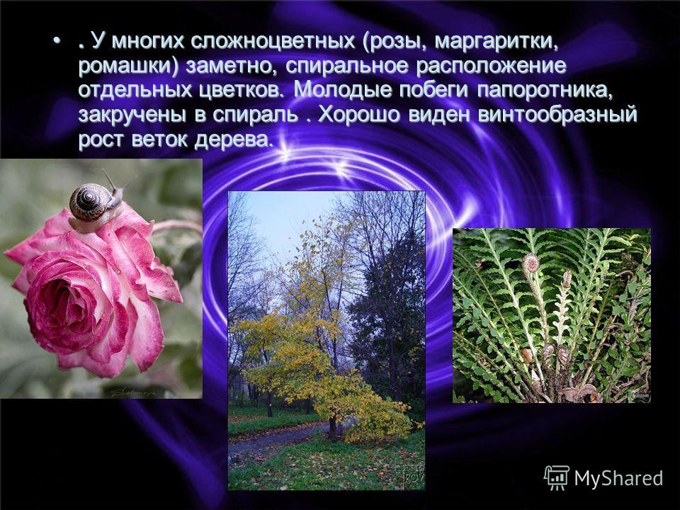 . У многих сложноцветных (розы, маргаритки, ромашки) заметно, спиральное расположение отдельных цветков. Молодые побеги папоротника, закручены в спираль. Хорошо виден винтообразный рост веток дерева.. У многих сложноцветных (розы, маргаритки, ромашки