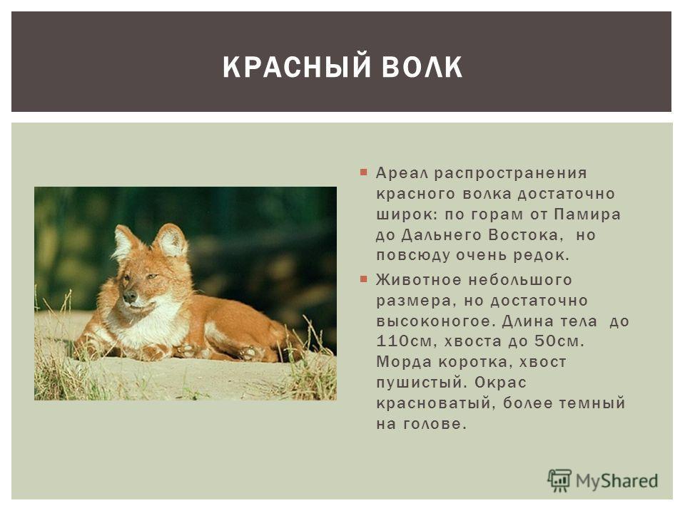 Ареал распространения красного волка достаточно широк: по горам от Памира до Дальнего Востока, но повсюду очень редок. Животное небольшого размера, но достаточно высоконогое. Длина тела до 110см, хвоста до 50см. Морда коротка, хвост пушистый. Окрас к