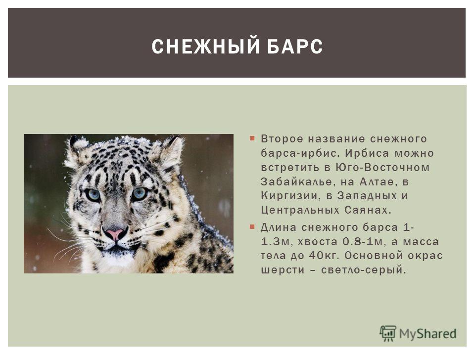 Второе название снежного барса-ирбис. Ирбиса можно встретить в Юго-Восточном Забайкалье, на Алтае, в Киргизии, в Западных и Центральных Саянах. Длина снежного барса 1- 1.3м, хвоста 0.8-1м, а масса тела до 40кг. Основной окрас шерсти – светло-серый. С