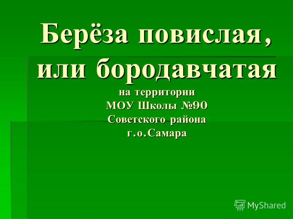 Берёза повислая, или бородавчатая на территории МОУ Школы 90 Советского района г. о. Самара