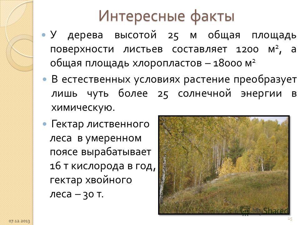 Интересные факты У дерева высотой 25 м общая площадь поверхности листьев составляет 1200 м 2, а общая площадь хлоропластов – 18000 м 2 В естественных условиях растение преобразует лишь чуть более 25 солнечной энергии в химическую. Гектар лиственного