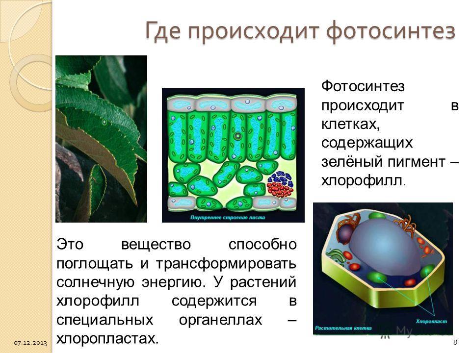 Где происходит фотосинтез Это вещество способно поглощать и трансформировать солнечную энергию. У растений хлорофилл содержится в специальных органеллах – хлоропластах. Фотосинтез происходит в клетках, содержащих зелёный пигмент – хлорофилл. 07.12.20