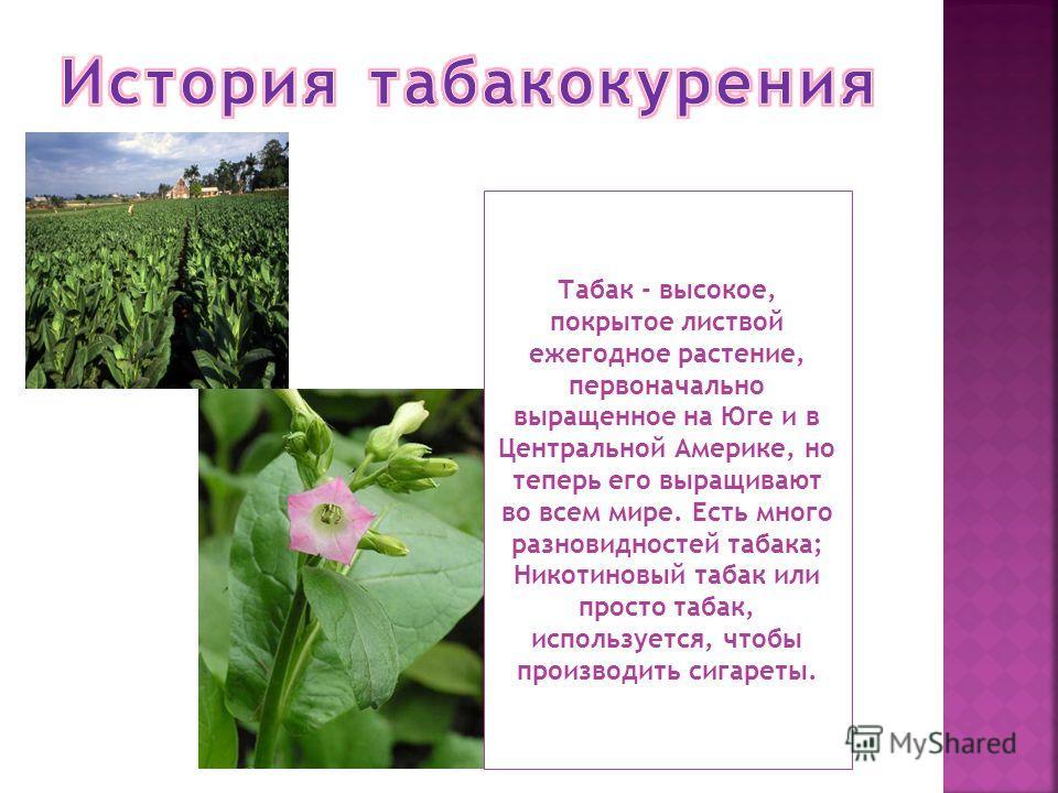 Табак - высокое, покрытое листвой ежегодное растение, первоначально выращенное на Юге и в Центральной Америке, но теперь его выращивают во всем мире. Есть много разновидностей табака; Никотиновый табак или просто табак, используется, чтобы производит