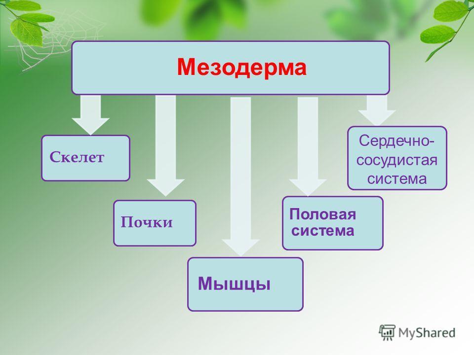 Мезодерма Скелет Почки Половая система Мышцы Сердечно- сосудистая система
