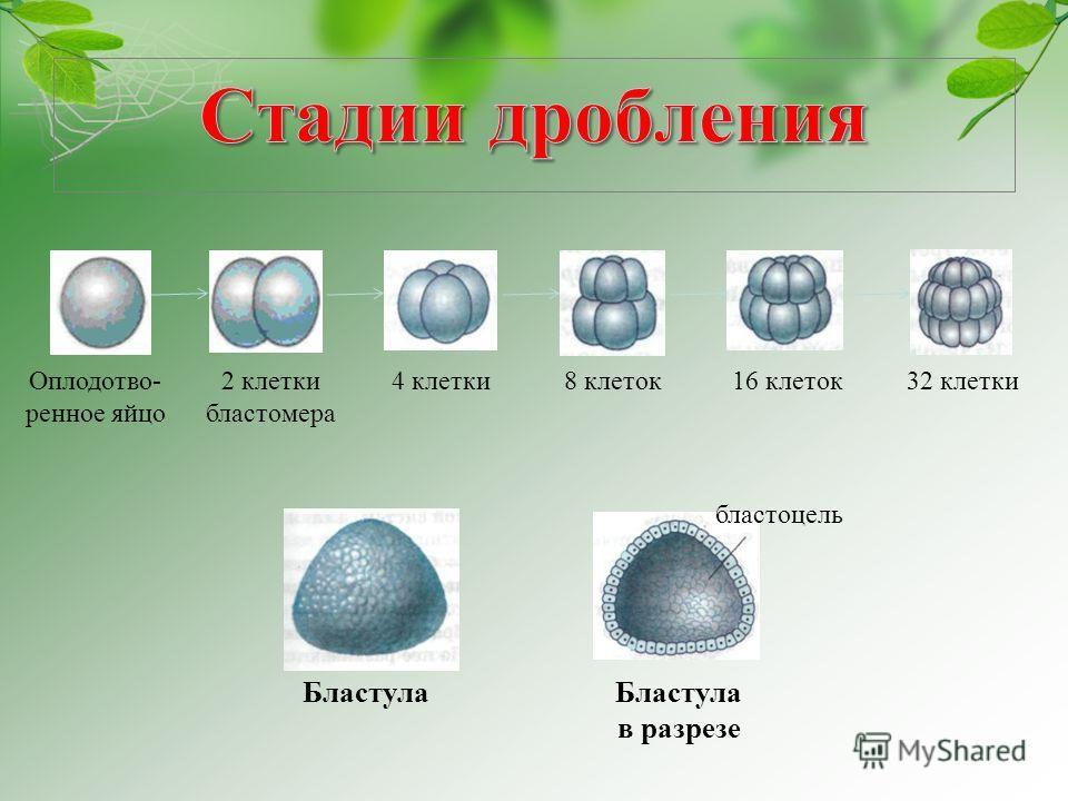Оплодотво- ренное яйцо 2 клетки бластомера 4 клетки8 клеток16 клеток32 клетки бластоцель Бластула в разрезе
