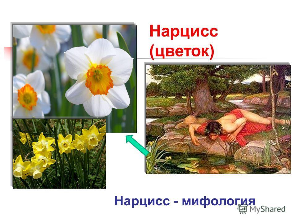 Нарцисс (цветок) Нарцисс - мифология