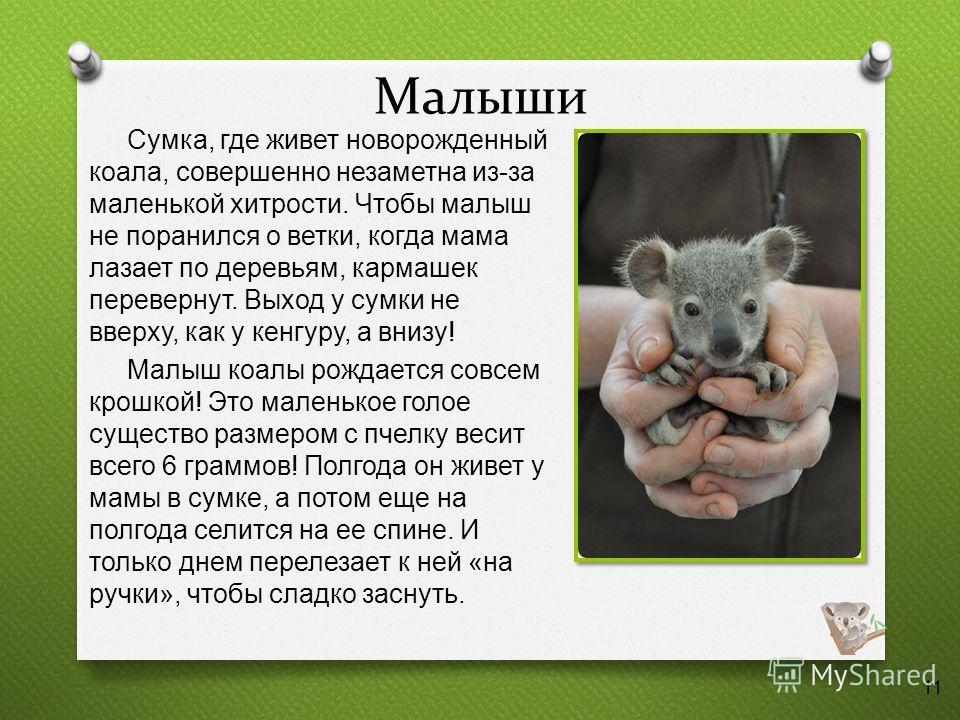 Малыши Сумка, где живет новорожденный коала, совершенно незаметна из - за маленькой хитрости. Чтобы малыш не поранился о ветки, когда мама лазает по деревьям, кармашек перевернут. Выход у сумки не вверху, как у кенгуру, а внизу ! Малыш коалы рождаетс