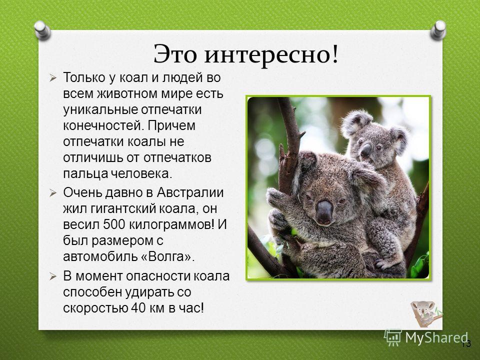 Это интересно! Только у коал и людей во всем животном мире есть уникальные отпечатки конечностей. Причем отпечатки коалы не отличишь от отпечатков пальца человека. Очень давно в Австралии жил гигантский коала, он весил 500 килограммов ! И был размеро