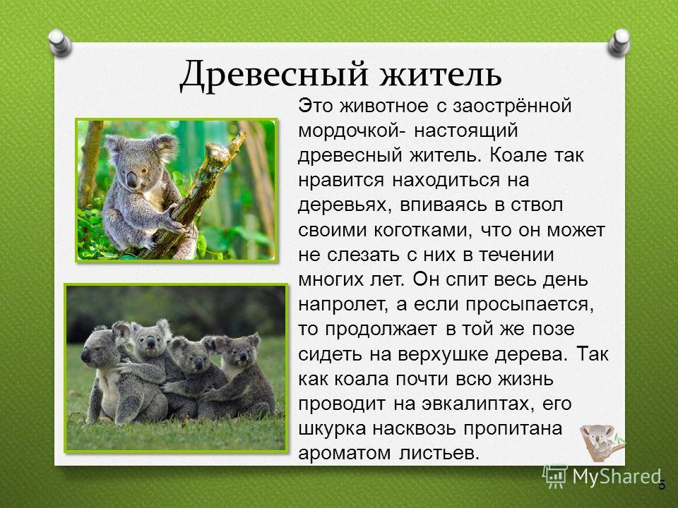 Древесный житель Это животное с заострённой мордочкой - настоящий древесный житель. Коале так нравится находиться на деревьях, впиваясь в ствол своими коготками, что он может не слезать с них в течении многих лет. Он спит весь день напролет, а если п
