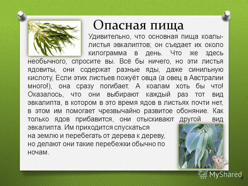 Опасная пища Удивительно, что основная пища коалы - листья эвкалиптов ; он съедает их около килограмма в день. Что же здесь необычного, спросите вы. Всё бы ничего, но эти листья ядовиты, они содержат разные яды, даже синильную кислоту, Если этих лист
