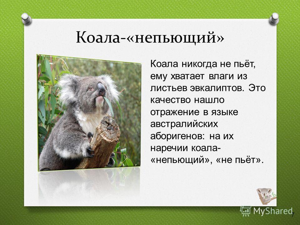 Коала-«непьющий» Коала никогда не пьёт, ему хватает влаги из листьев эвкалиптов. Это качество нашло отражение в языке австралийских аборигенов : на их наречии коала - « непьющий », « не пьёт ». 7