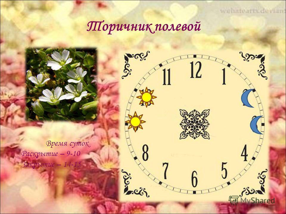 Торичник полевой Время суток Раскрытие – 9-10 Закрытие – 14-15