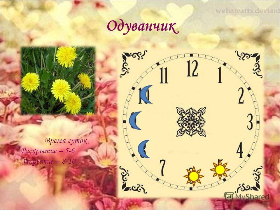 Одуванчик Время суток Раскрытие – 5-6 Закрытие – 8-10