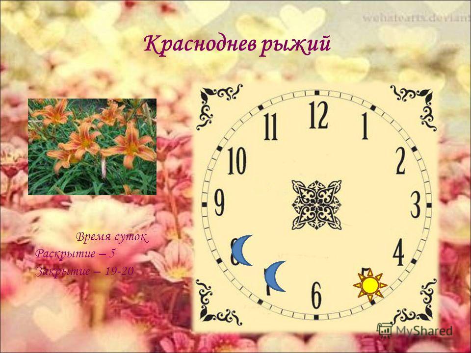 Красноднев рыжий Время суток Раскрытие – 5 Закрытие – 19-20