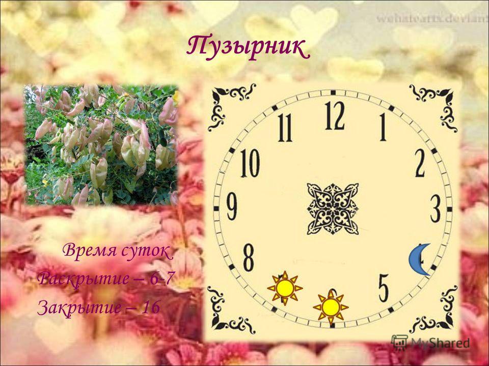 Пузырник Время суток Раскрытие – 6-7 Закрытие – 16