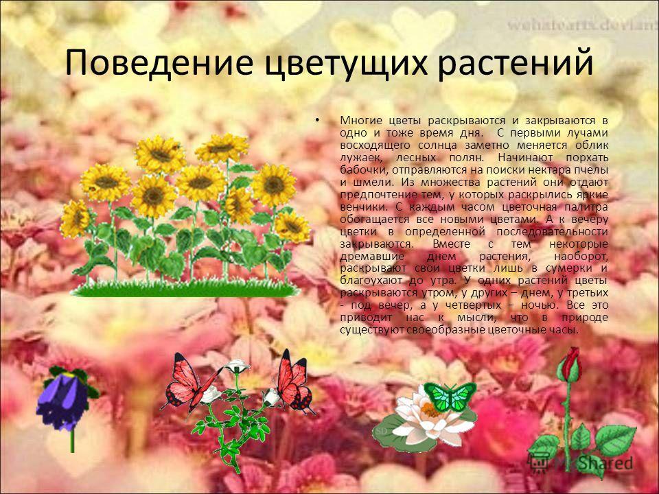 Поведение цветущих растений Многие цветы раскрываются и закрываются в одно и тоже время дня. С первыми лучами восходящего солнца заметно меняется облик лужаек, лесных полян. Начинают порхать бабочки, отправляются на поиски нектара пчелы и шмели. Из м